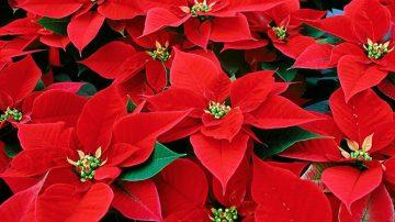 Le Stelle di Natale